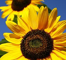 Sunflowers closeup by Gaspar Avila