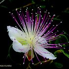 Capers Flower by RAY AGIUS