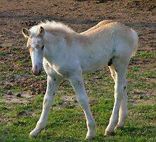 Belgian Draft Colt by Tiffany Rach