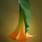 Brugmansia by Magee