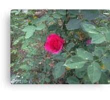 Rose on a Rainy Day Canvas Print