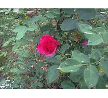 Rose on a Rainy Day Photographic Print
