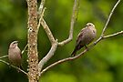 FEMALE BROWN-HEADED COWBIRDS by Sandy Stewart