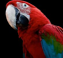 Close-Up Of A Green-Winged Macaw Background Removed by taiche