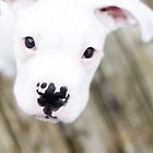 white boxer puppy by sara montour