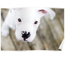 white boxer puppy Poster