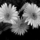 Weeping Daisies by Judy Wanamaker