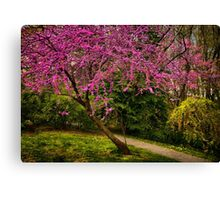 Redbud in bloom Canvas Print