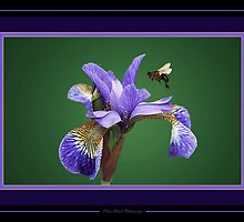 Iris nectar. by Chris Bird
