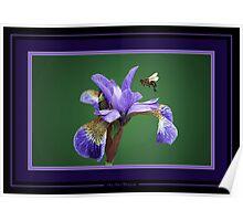 Iris nectar. Poster