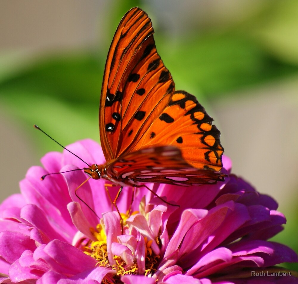 Butterfly at work by Ruth Lambert