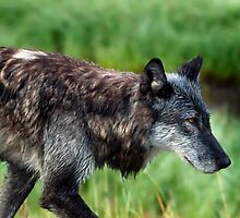 Grey Wolf     #0508 by JL Woody Wooden