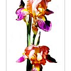 Bearded Iris #6 - Postcard by Michelle Bush