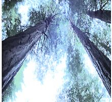 Giant Redwoods by greggace