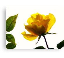 My first rose of the season Canvas Print