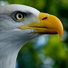 American Bald Eagle by minnow