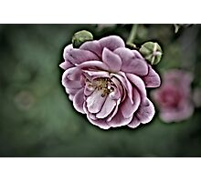 pink sub-zero rose Photographic Print