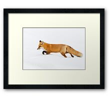 Red Fox hunting in snow Framed Print