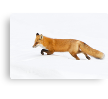 Red Fox hunting in snow Canvas Print