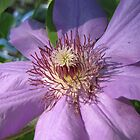 Clematis ~ Closeup by Rusty Katchmer