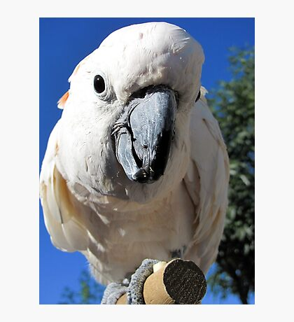 Daisy ~ Moluccan/Salmon-crested Cockatoo Photographic Print