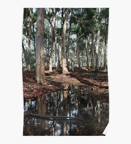 Eucalyptus Trees After the Rain Poster