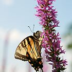 Yellow Swallowtail by Tim Devine