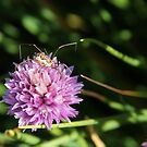 spider on chive flower by shilohrachelle