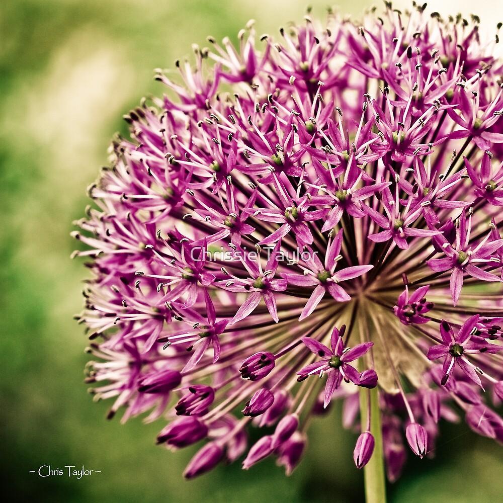 Vintage Allium by Chrissie Taylor
