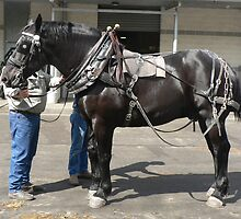 Black Percheron Gelding - Sydney Royal by louisegreen