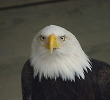 Mr Majestic - Eagle in Ketchikan, AK by Unruely