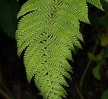 irish fern!! almost 3D by Declan Carr