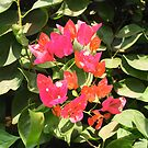 BOUGAINVILLEAS conspicuous and colourful features of Eastern gardens. by Alan Gillam
