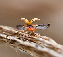 Lift Off - Olla Abdominalis - Ashy Gray Ladybug by luc1ddr3am
