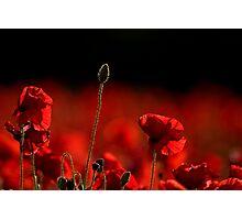 Poppies 002 Photographic Print