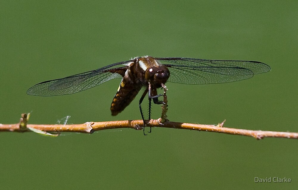 Zootz the Dragonfly tootin' his horn by David Clarke