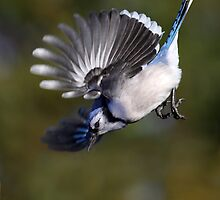 Dropping In / Bluejay by Gary Fairhead