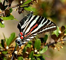 ZEBRA SWALLOWTAIL by TomBaumker