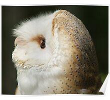 Barn Owl #3 Poster