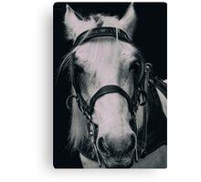Cute White Horse  Canvas Print