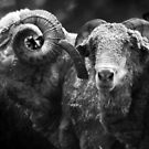 Bob&#x27;s Rams B&amp;W by Eve Parry