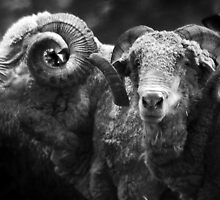 Bob's Rams B&W by Eve Parry