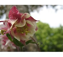 Sly Columbine Photographic Print