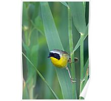 Common Yellowthroat (Geothlypis trichas) Poster
