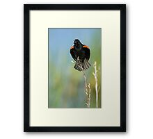 Red Winged Blackbird Singing Framed Print