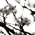 Black and White Cherry Blossoms by cmpotts