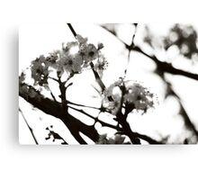 Black and White Cherry Blossoms Canvas Print