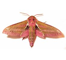 Elephant Hawk-moth Deilephila elpenor Photographic Print