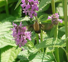 Hummingbird Clearwing Moth by rasnidreamer