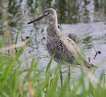 Willet by whisperjo